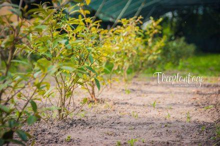 Theeplantage Soerendonk - Leven op een Nederlandse theeplantage